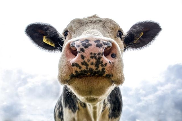 cow biodynamic